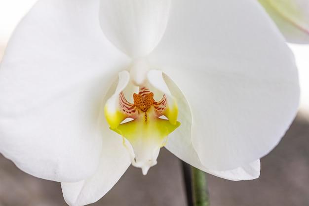 白蘭の花のクローズアップ 無料写真