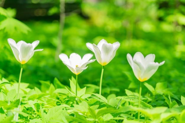 Close up of white and red tulip. flower background. summer garden landscape Premium Photo