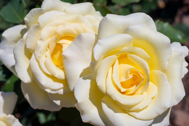 Close-up white roses petals outdoor Free Photo
