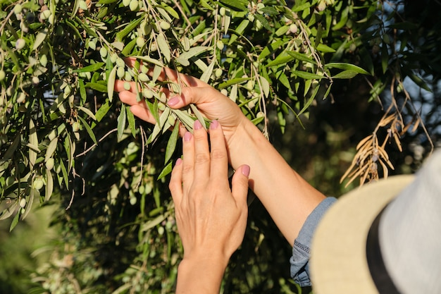 Close up of woman hands on olive tree Premium Photo