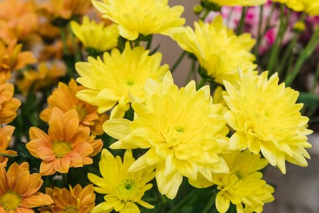 Close-up of yellow chrysanthemums flowers Free Photo