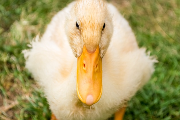 Close up of yellow duckling on blurry green grass Premium Photo