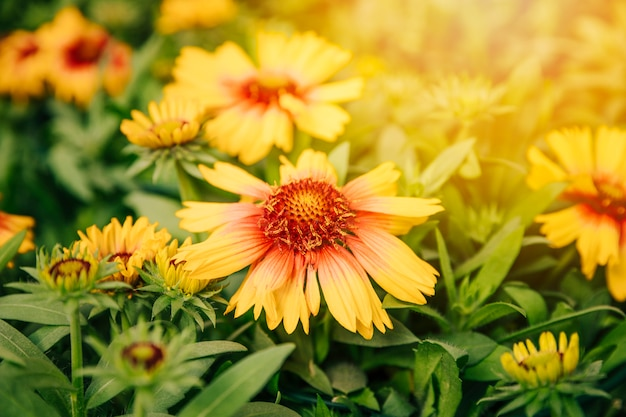 A close up of a yellow gaillardia flower in summer meadow Free Photo