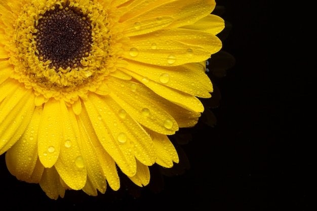 Close-up yellow gerbera flowers with petals Free Photo