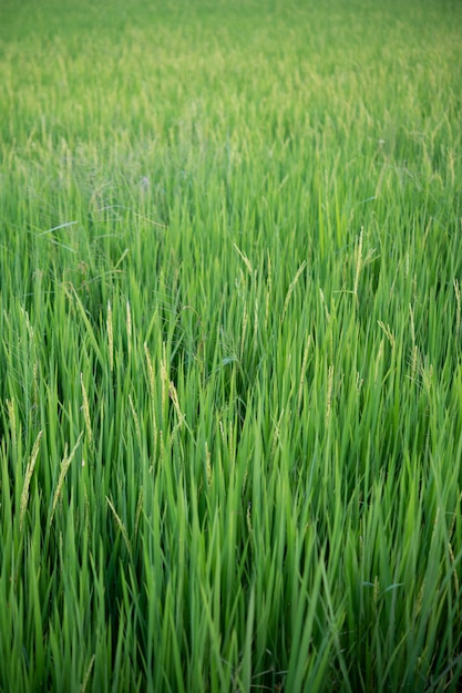 Close up of yellow-green rice fields. Free Photo