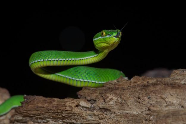 Close up yellow lipped green pit viper snake Premium Photo