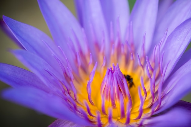 Close up yellow pollen of violet lotus or water lily with bees. Premium Photo