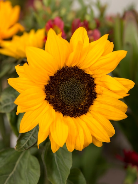 Close-up of yellow sunflower in bloom Free Photo