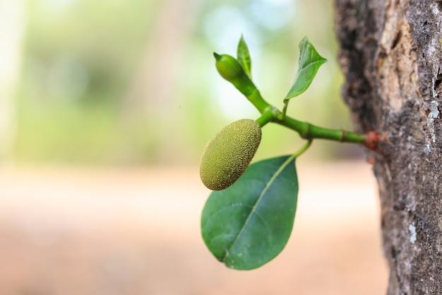 木の枝に若い小さな緑色のジャックフルーツを閉じて、背景をぼかします Premium写真