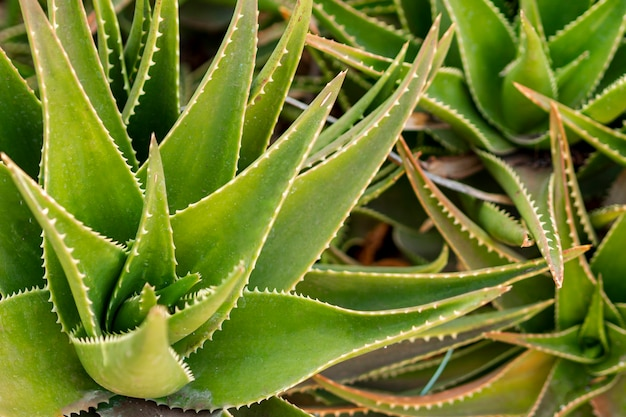 Close view aloe vera Free Photo
