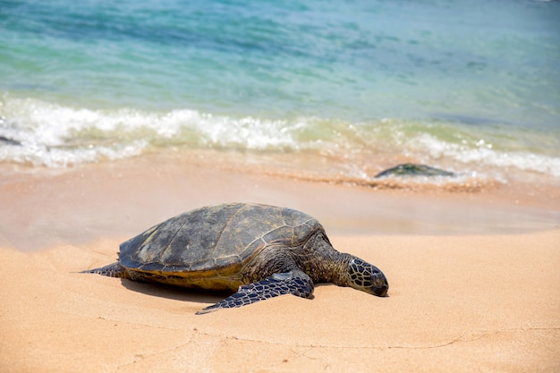 Close view of sea turtle resting on laniakea beach on a sunny day, oahu, hawaii Premium Photo