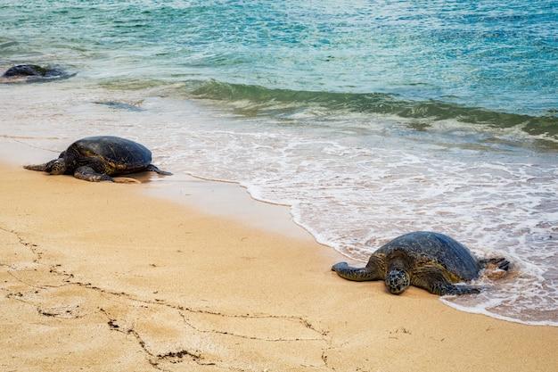Close view of sea turtles resting on laniakea beach on a sunny day, oahu, hawaii Premium Photo