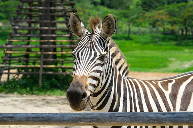Closed up african zebra on the field Premium Photo