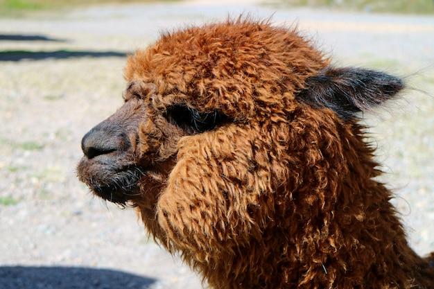 Closed up a brown fluffy alpaca on the peruvian altiplano of arequipa region, peru Premium Photo
