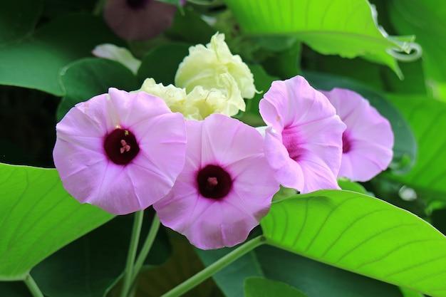 Closed up bunch of vibrant purple pink argyreia nervosa or woolly morning glory flowers Premium Photo