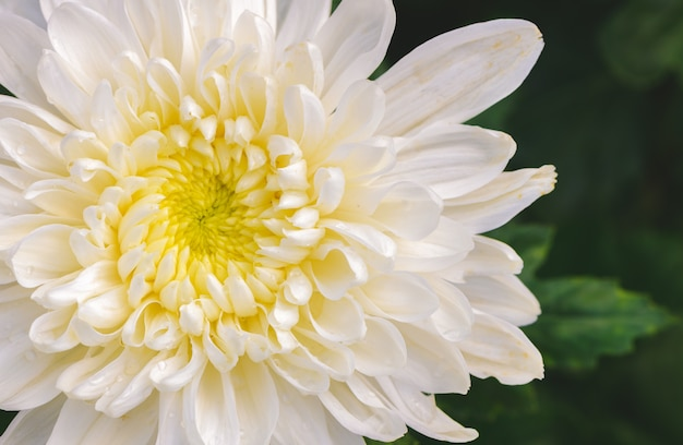 Closed up of white chrysanthemum flower with yellow center photo closed up of white chrysanthemum flower with yellow center premium photo mightylinksfo
