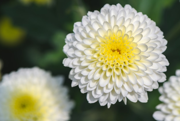 Closed up of white chrysanthemum flower with yellow photo premium closed up of white chrysanthemum flower with yellow premium photo mightylinksfo