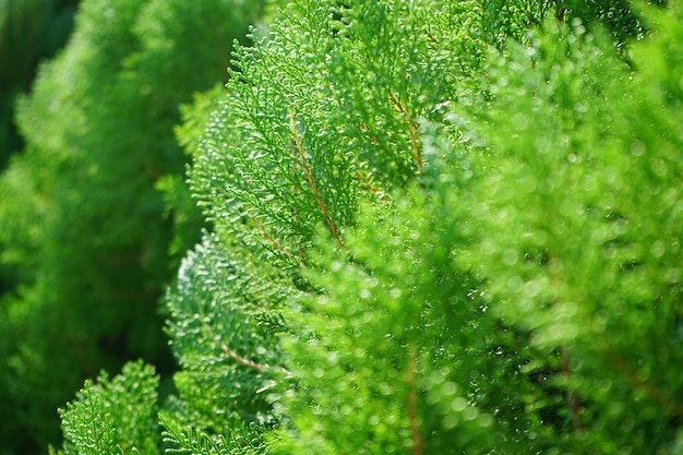 Closed up pine tree image freshness of green color in spring time Premium Photo