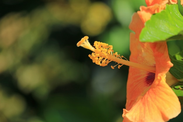 Closed up the pollen of orange color hibiscus in the sunlight, easter island, chile Premium Photo