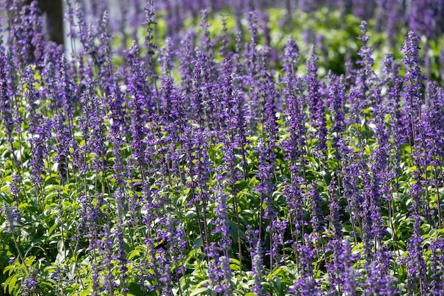 Closeup beautiful fernleaf lavender flower Premium Photo