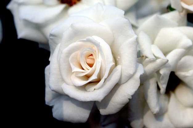 Closeup beautiful fresh white rose Premium Photo
