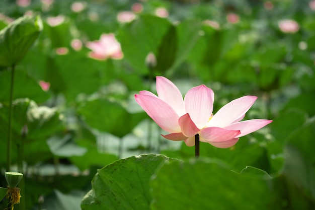 Closeup beautiful pink lotus with greenery leaves Premium Photo