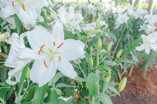 Closeup beautiful white tiger lilly flower Premium Photo