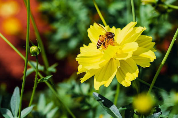 Closeup bee collecting pollen on yellow cosmos Premium Photo