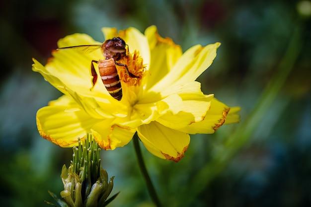 Closeup bee collecting pollen on yellow cosmos Premium Photo