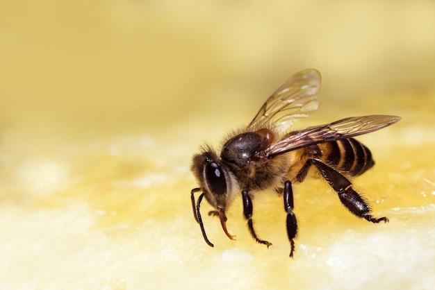 Closeup bee eating sweet pineapple and yellow background. Premium Photo