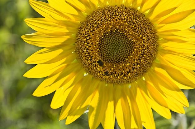 Primo piano di un'ape su un girasole in un campo sotto la luce del sole Foto Gratuite