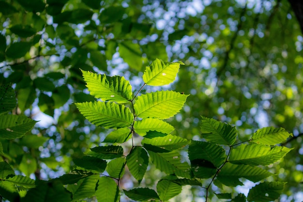 Closeup  of beech type of leaf with blurred green leafy Free Photo