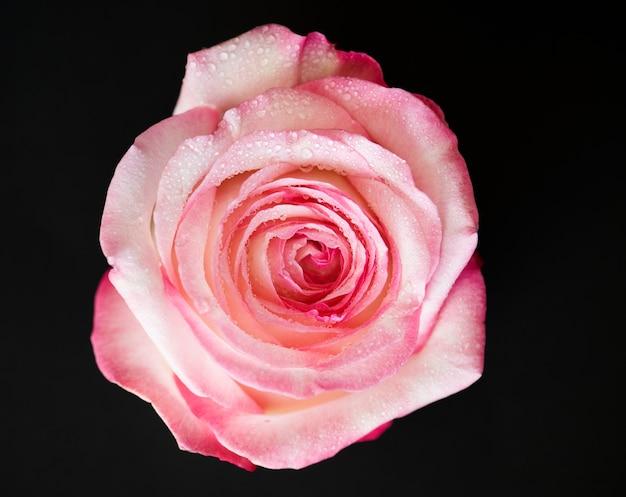 Closeup of blooming pink rose Free Photo