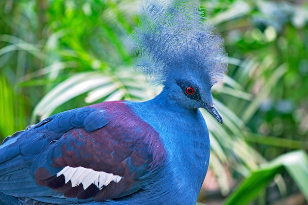 Closeup of blue crowned pigeon Premium Photo