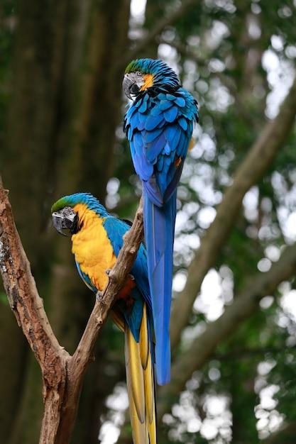 Closeup of blue and yellow macaw or arara caninde Premium Photo