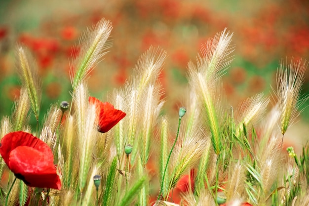 Closeup bright red poppies with blurry poppies in the background Premium Photo