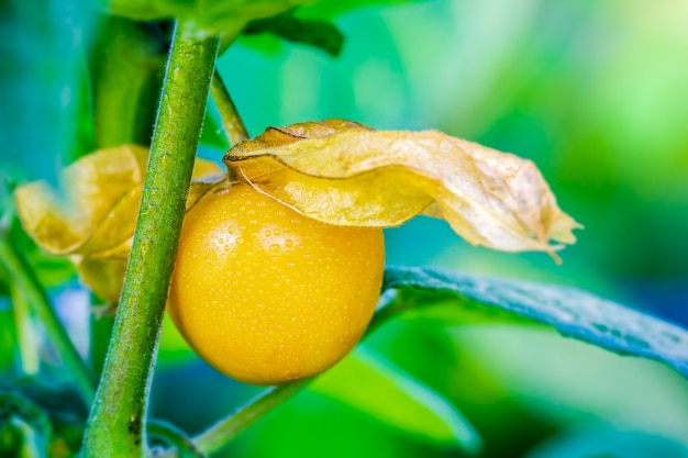 Closeup cape gooseberry is peeled off on the tree in organic farms and morning sunlight. Premium Photo