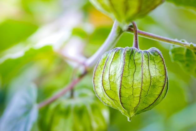 Closeup cape gooseberry on the tree in organic farms and morning sunlight. Premium Photo