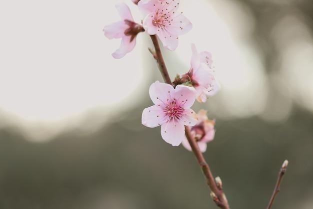 Primo piano della fioritura dei ciliegi sotto la luce del sole in un giardino con uno sfocato Foto Gratuite