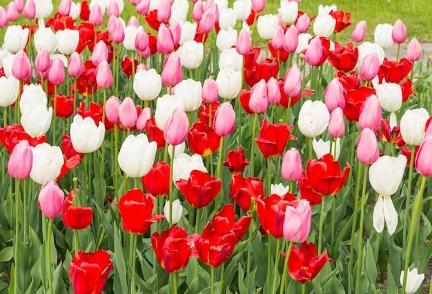 Primo piano di tulipani colorati in un giardino sotto la luce del sole Foto Gratuite