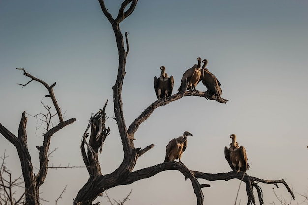 Closeup of a committee or a venue of vultures on dried tree branches in hoedspruit, south africa Free Photo