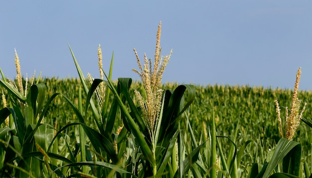 Closeup of corn plants with tassel Premium Photo