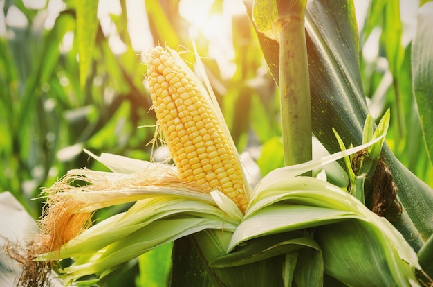 Closeup corn on stalk in field with sunset background Premium Photo