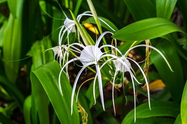 Closeup crinum asiaticum flowers with green leaf Premium Photo