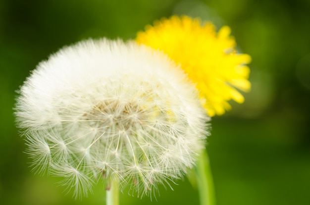 Closeup of a dandelion with seeds. Premium Photo