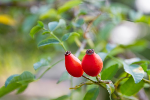Closeup of dog-rose berries. rose-hip fruit on the branch. wild rosehips in nature. Premium Photo