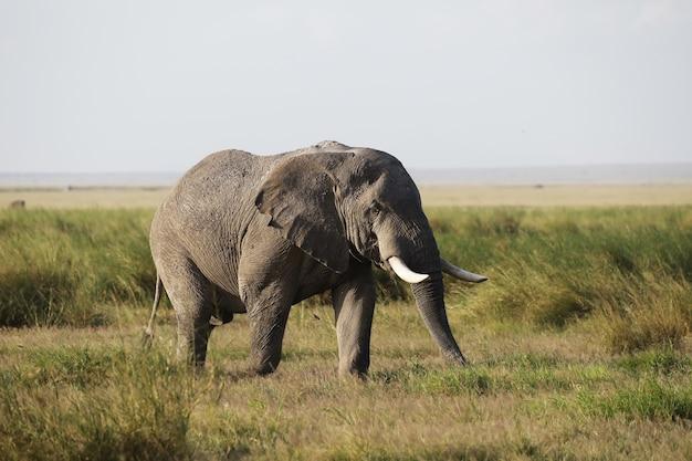 Primo piano di un elefante che cammina sulla savana del parco nazionale di amboseli, kenya, africa Foto Gratuite