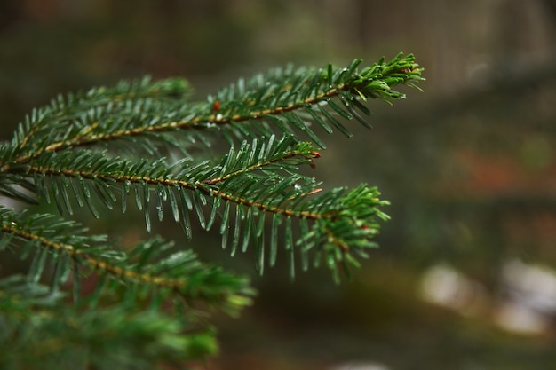 Closeup focus of small branch of pine tree in forest at rainy winter day Free Photo