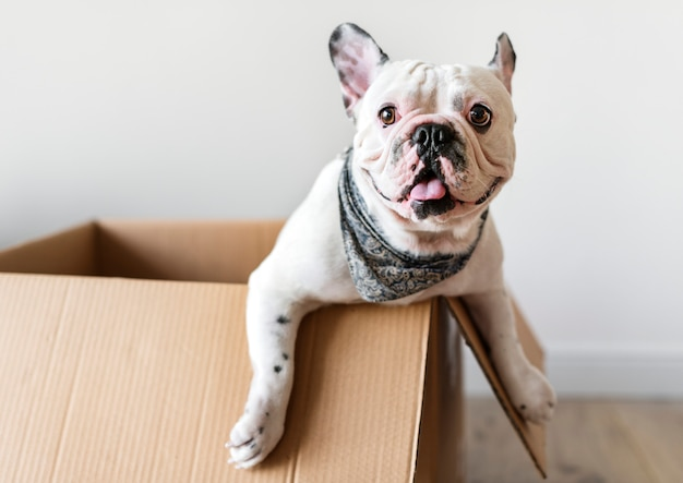 Closeup of french bulldog Premium Photo