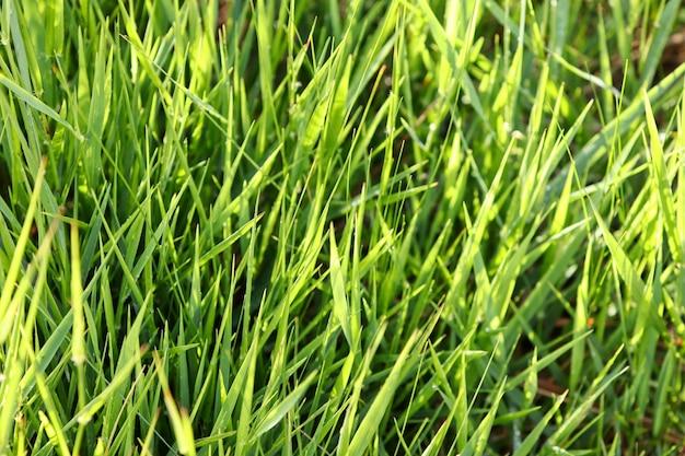 Closeup of fresh green grass Free Photo